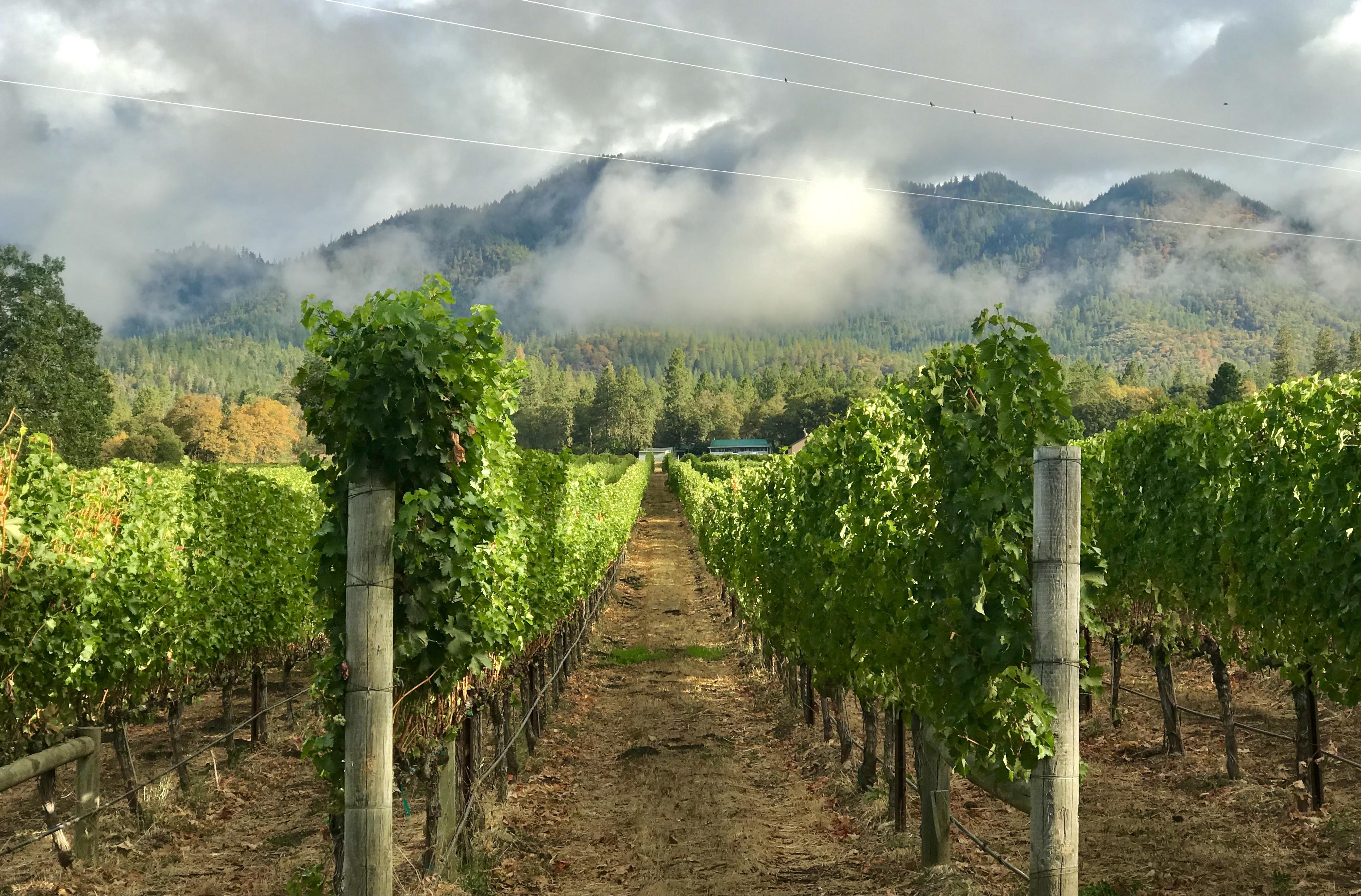 Mist hangs over rows of vines in a vineyard.