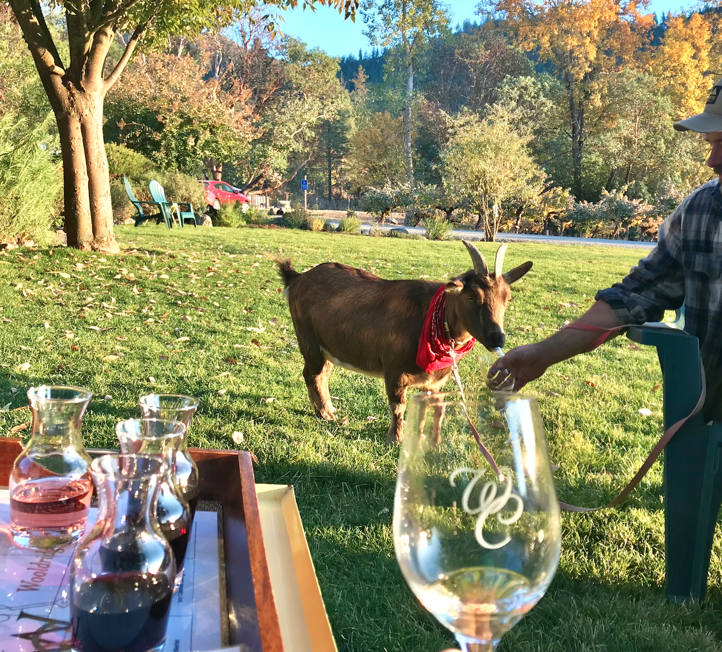 Man holds wine glass up to goat's snout.