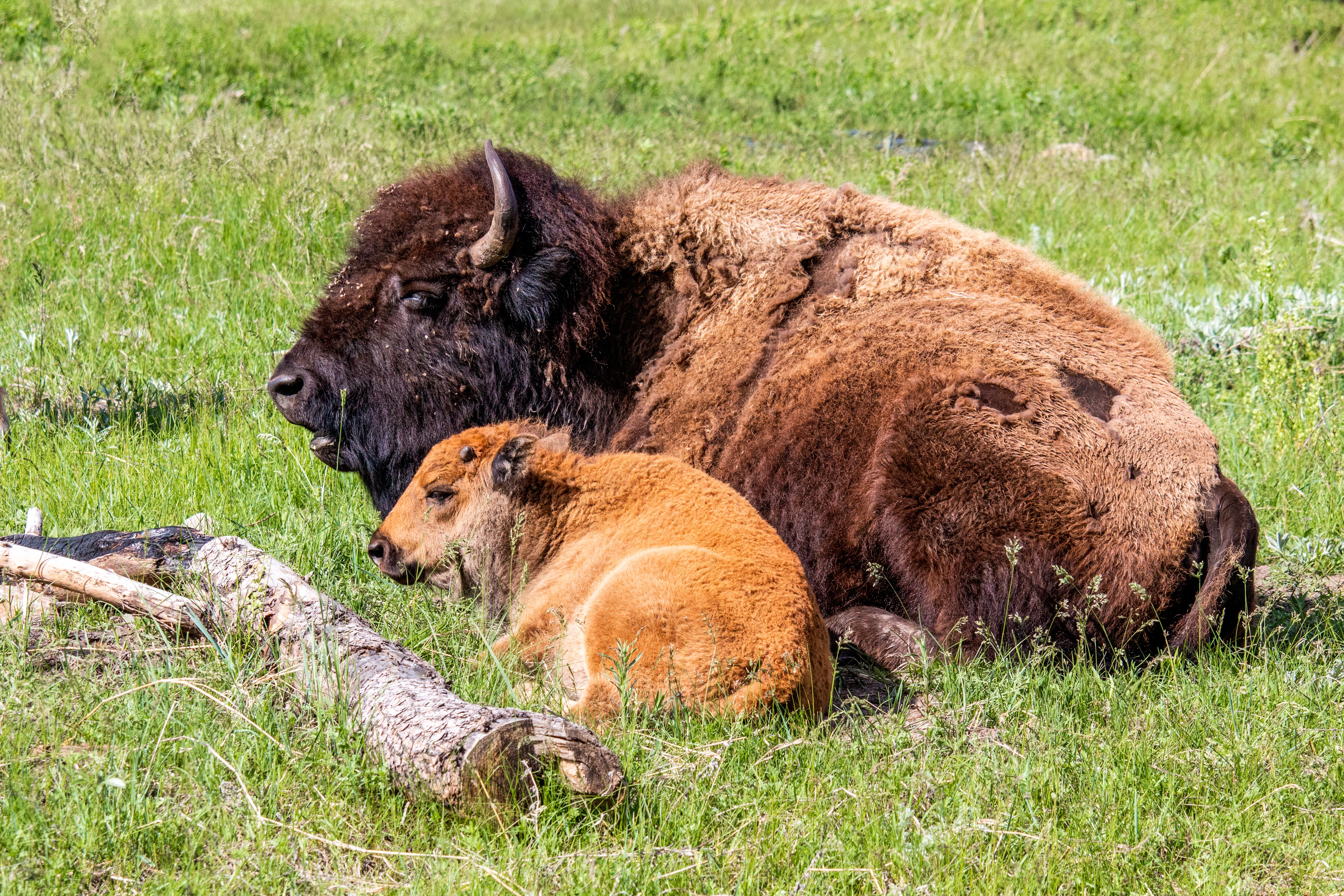 An adult bison lies on the ground with baby.