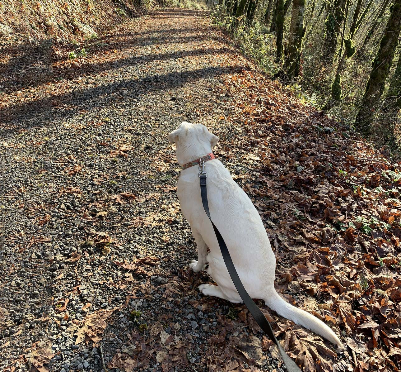 A dog looks down a forested trail.