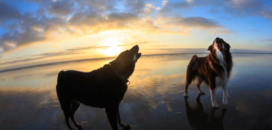 A pair of dogs howl into the sky against an ocean backdrop.