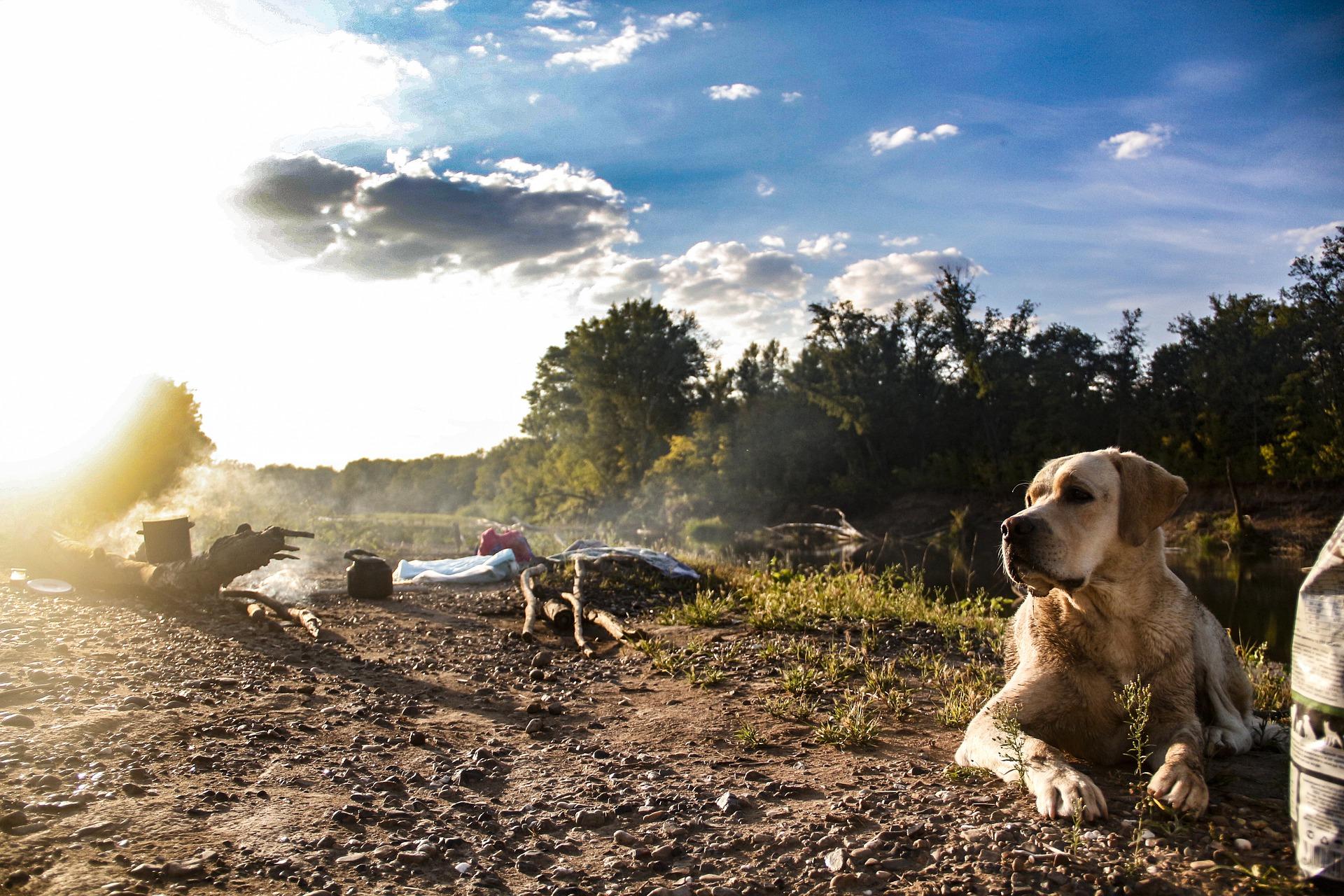 Labrador relaxing at a campsite.